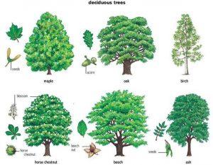 названия деревьев и кустов на английском языке